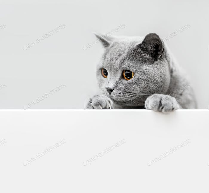 Cute playful grey cat leaning out