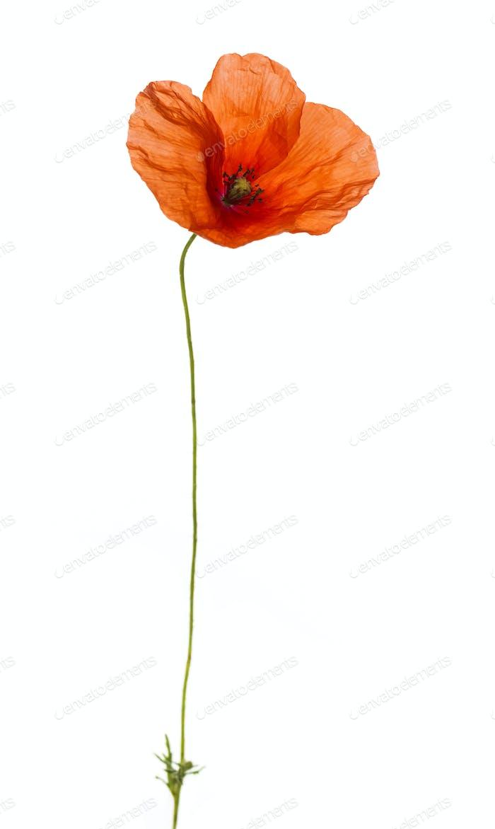 Poppy, isolated on white