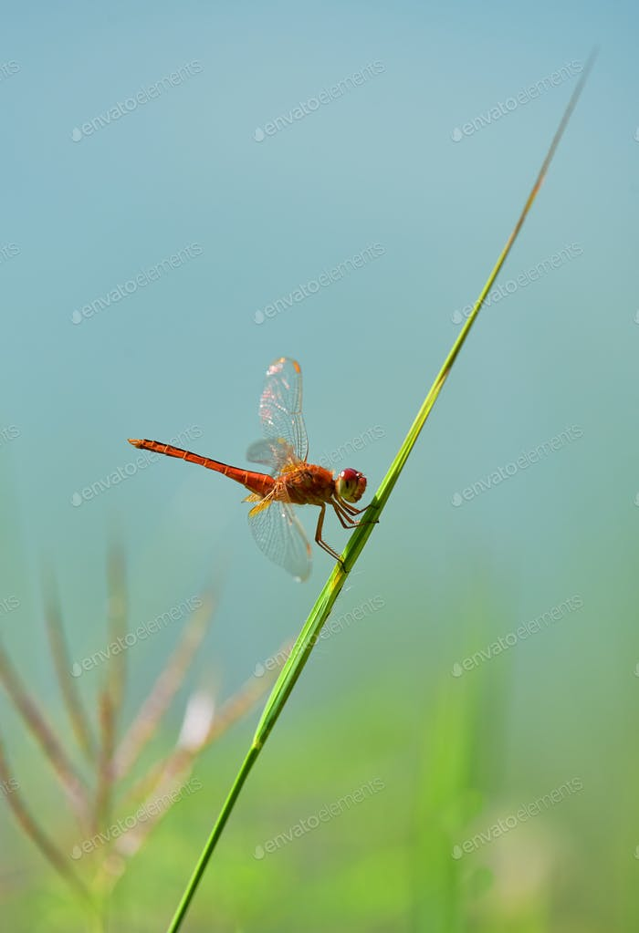 Dragonfly on the grass blade