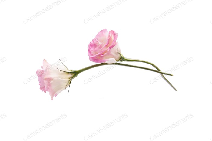 Two flowers of pink eustoma on a clean white background.