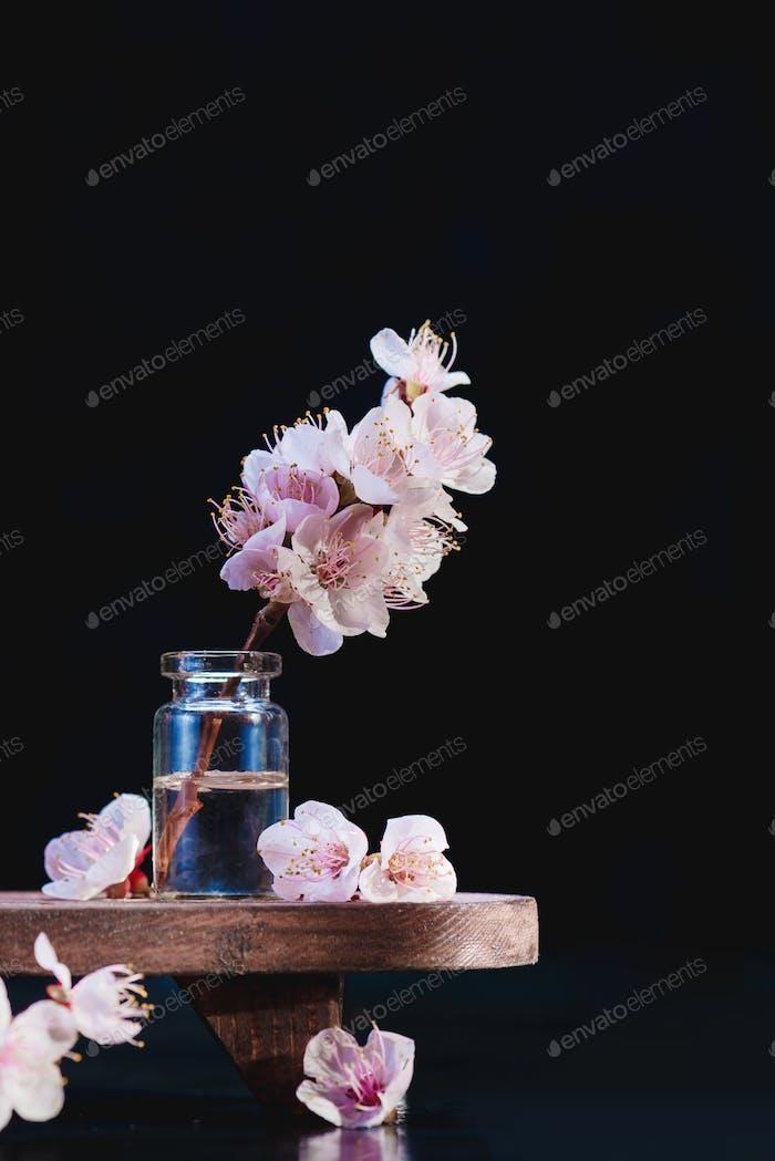 Kirschblüte Zweig minimalistisch Stillleben. Rosa Blumen, Frühlingsblüte Konzept auf einem schwarzen