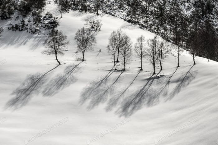 Birches on the snow