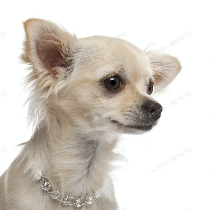 Close-up of Chihuahua, 9 months old, in front of white background