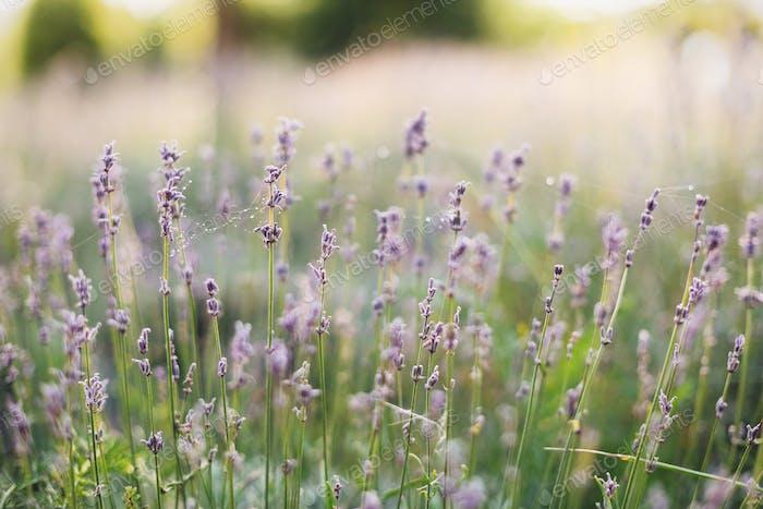 Schöne Lavendelblüten im sonnigen Licht auf der Wiese