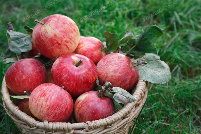 Basket with apples harvest on grass