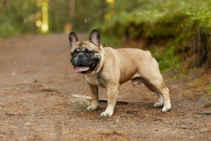 French bulldog outdoors