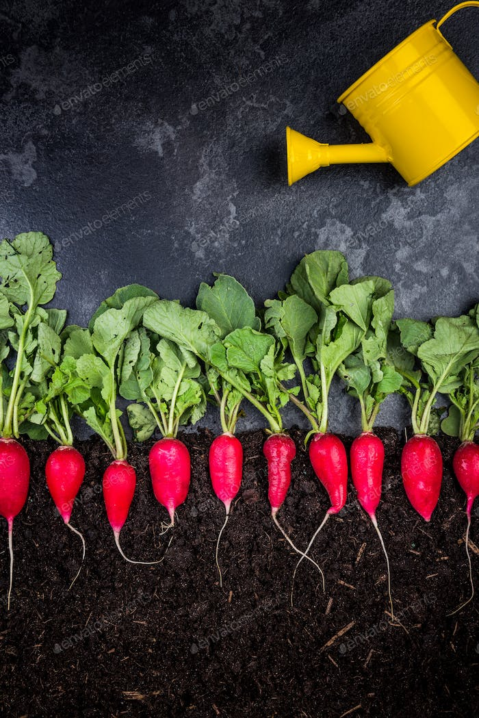 Watering Radish in Soil, Creative Conceptual Image with Copy Spa