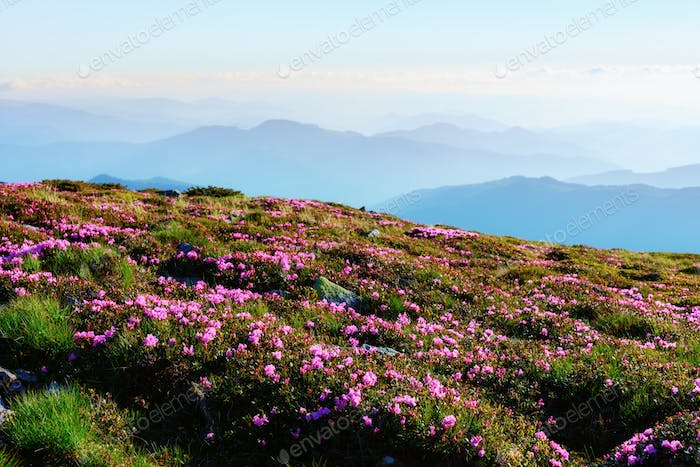 Rhododendron blooming in high mountains