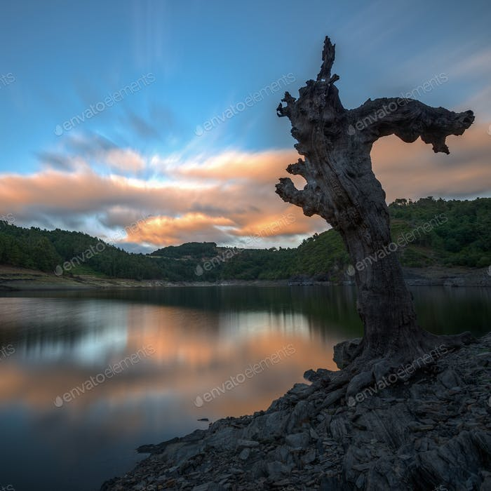 Dead tree on the bank of a river