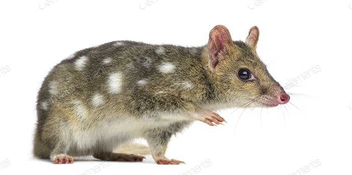 Quoll walking, isolated on white