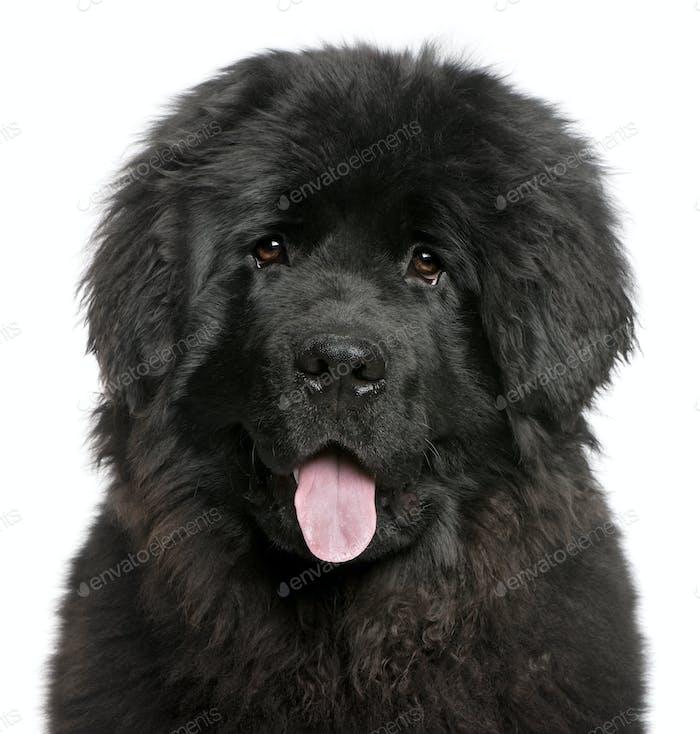 Newfoundland puppy (6 months old)