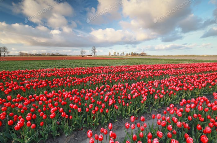 red tulip field in spring