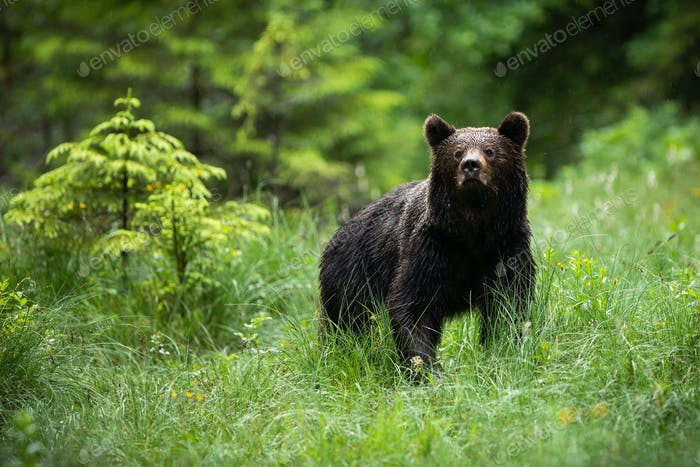 Impressive brown bear standing in forest in summer nature
