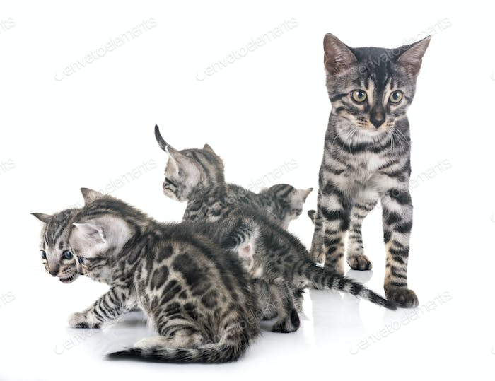 bengal family in studio