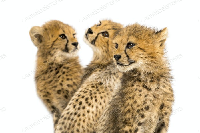 Close-up on a family of three months old cheetah cubs, isolated on white
