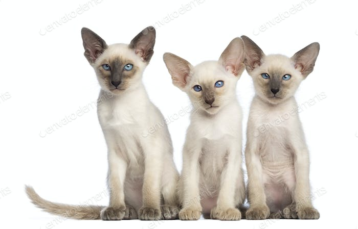 Thumbnail for Three Oriental Shorthair kittens sitting and looking at camera against white background
