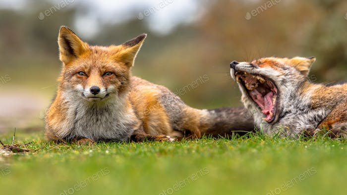 Two European red fox  family members