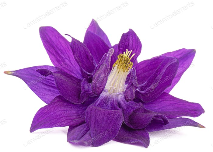 Violet flower of aquilegia, blossom of catchment closeup, isolated on white background