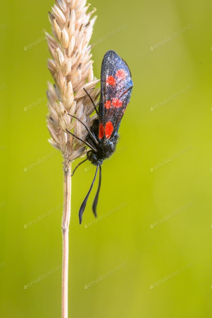 Six-spot Burnet (Zygaena filipendulae) Moth on bright Green Back