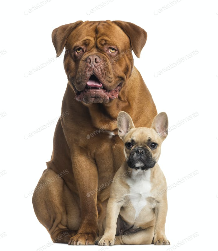 Dogue de Bordeaux panting and French bulldog puppy sitting, isolated on white