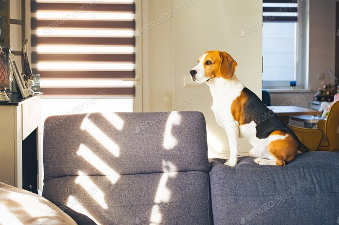 Beagle dog sit on the top of soffa in bright room