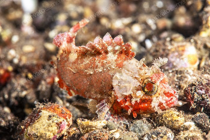 Small Red and white sculpin