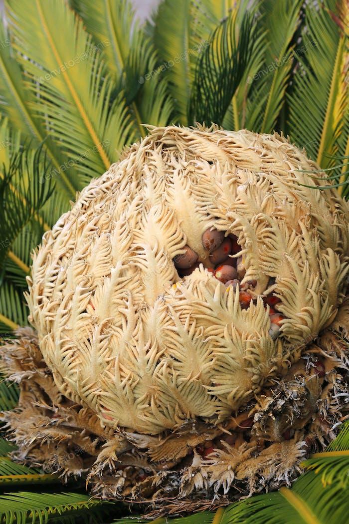Cone with fruits of female cycas revoluta cycadaceae sago palm