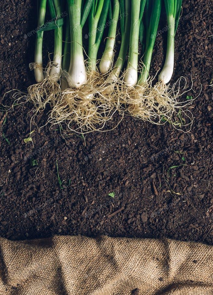 Frühlingszwiebel oder Schalotte auf Gartenboden, Draufsicht