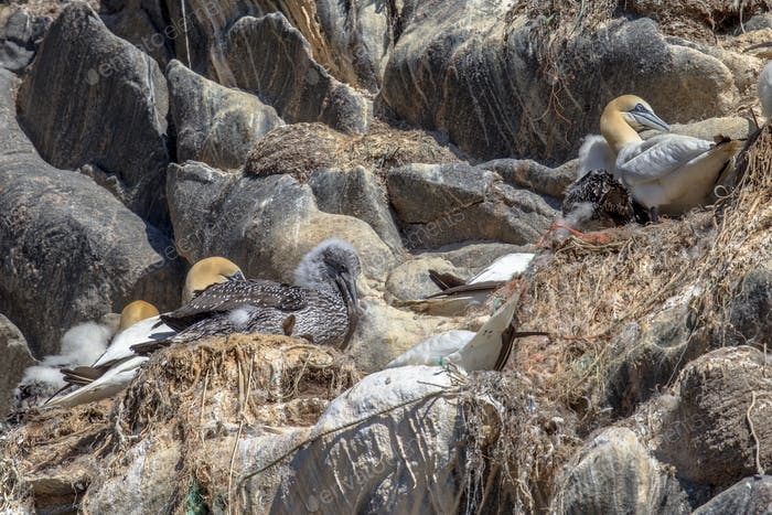 Gannet breeding bird colony