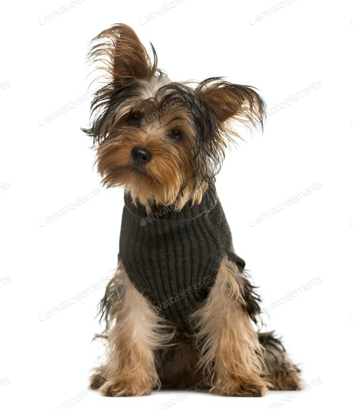 Yorkshire Terrier looking at the camera, isolated on white