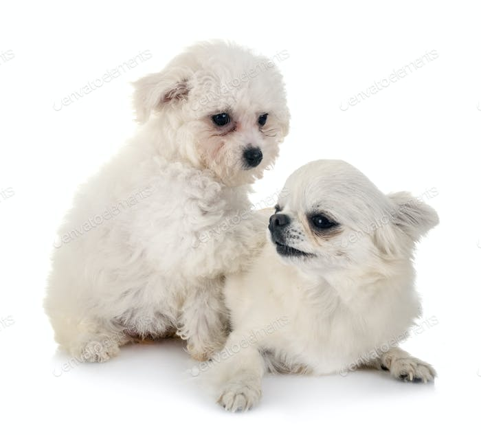 Bichon Frise and chihuahua