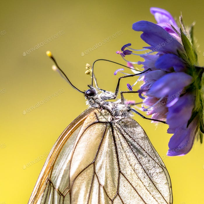 Black veined white butterfly close up
