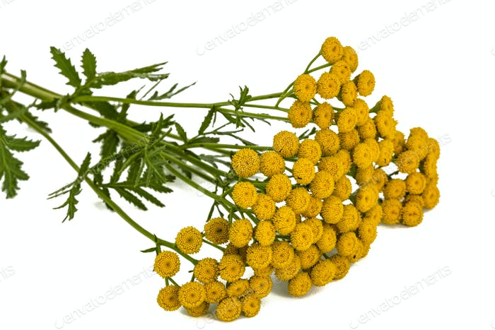 Flowers the medicinal plant of tansy, lat. Tanacetum vulgare, is