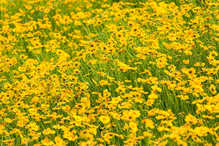 yellow coreopsis flower blooming background