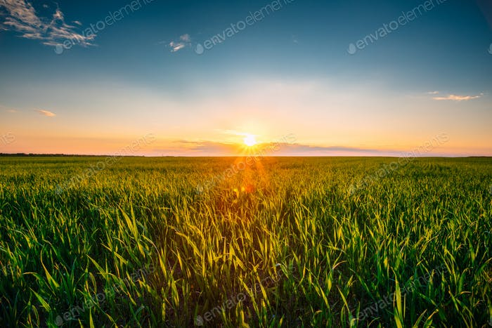 Landscape Of Green Wheat Field Under Scenic Summer Dramatic Sky