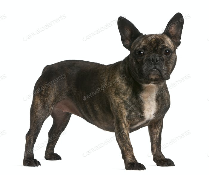 French bulldog, 4 years old, standing in front of white background