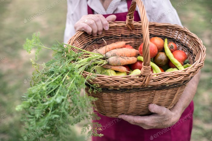 Unrecognizable senior woman in her garden harvesting vegetables