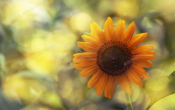 Blühende Sonnenblume mit Bokeh