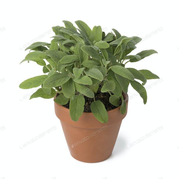 Brown terra cotta pot with fresh sage