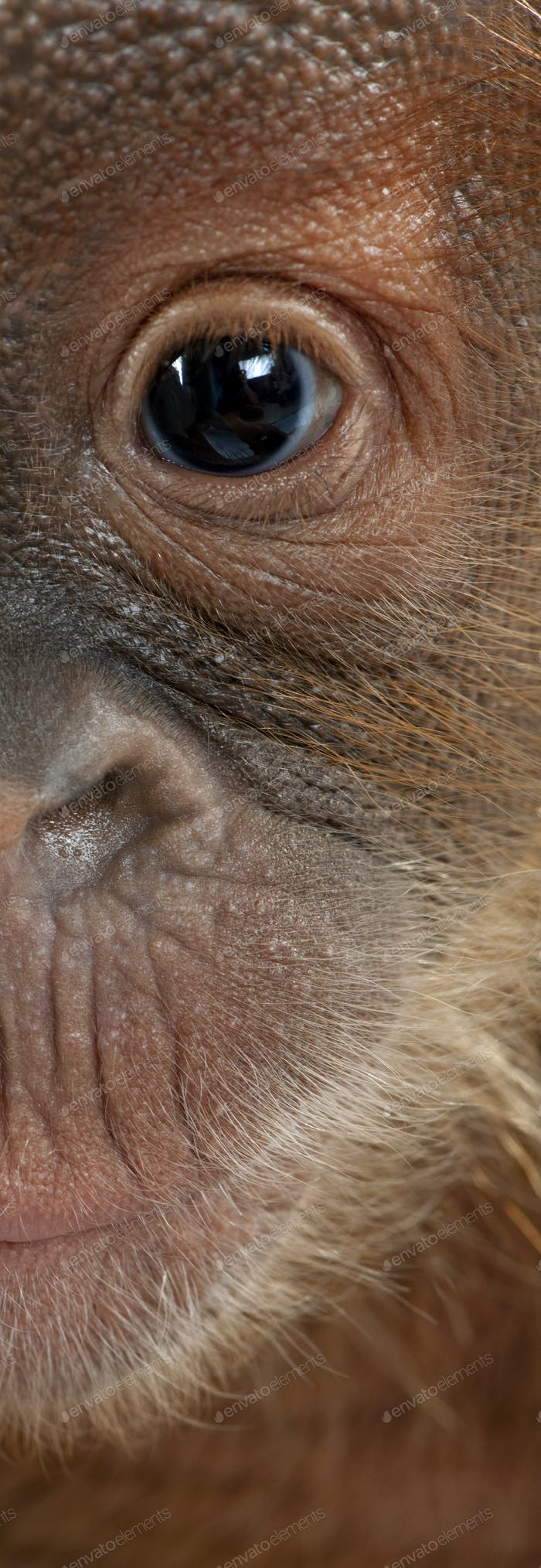Panoramic close-up of baby Sumatran Orangutan, 4 months old