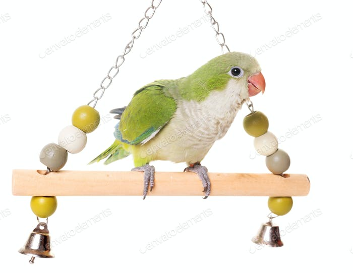 Monk parakeet in studio