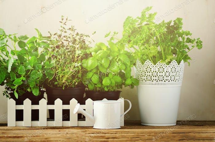 Grüne frische aromatische Kräuter - Melisse, Minze, Thymian, Basilikum, Petersilie auf weißem Hintergrund. Banner