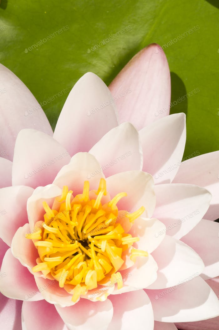 Pink and Yellow Waterlily