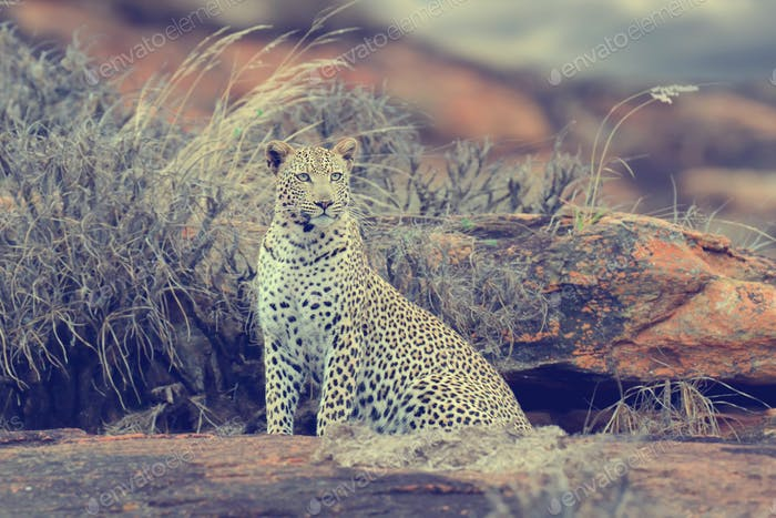 Leopard in National park of Kenya, Africa