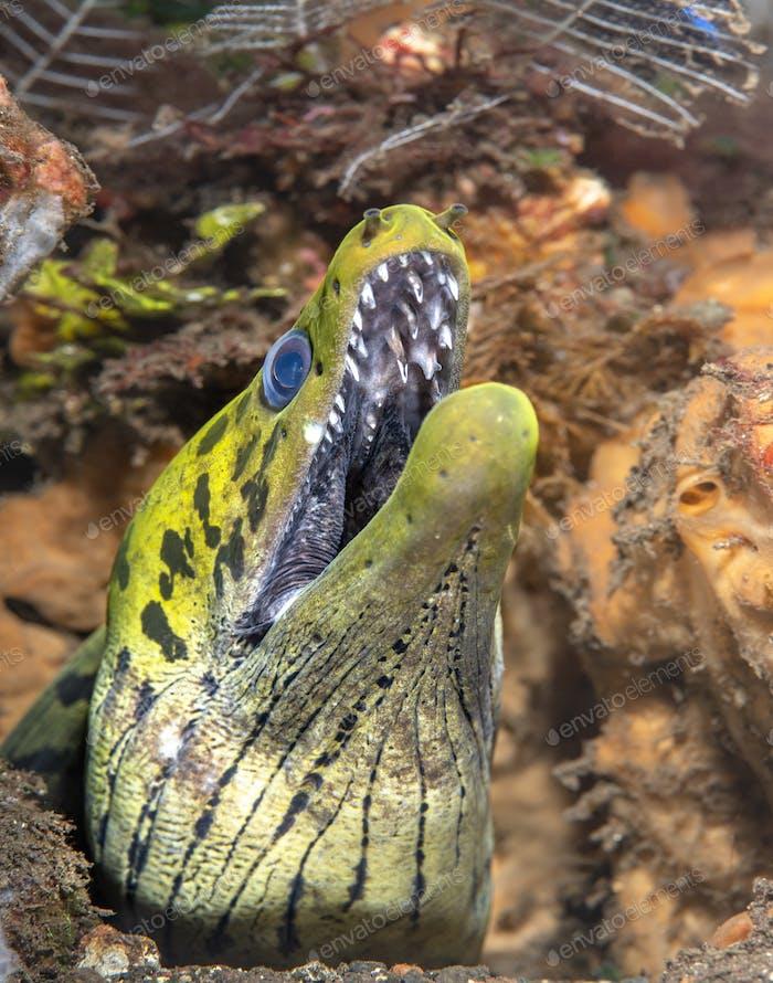 Giant Green Moray Eel