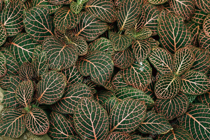 Leaves Of Fittonia Vershaffeliti In Botanical Garden