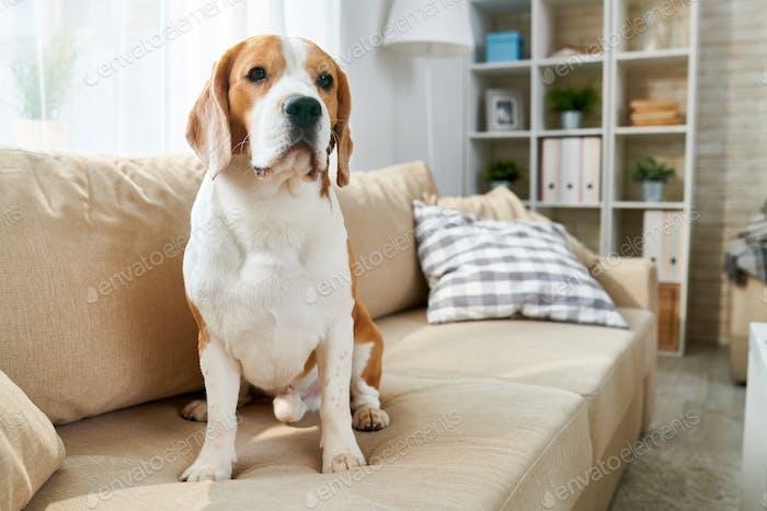 Haustier Hund sitzend auf Sofa