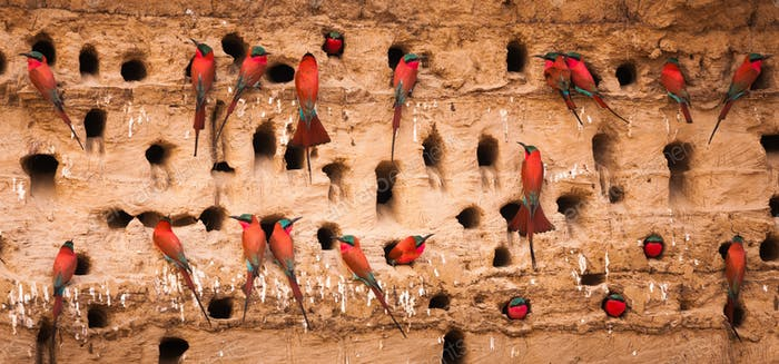 Southern carmine bee-eaters, South Luangwa National Park, Zambia, Merops nubicoides