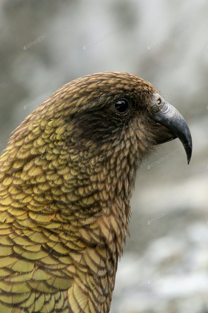 Kea Bird (Mountain Parrot) - Franz Josef Glacier, New Zealand