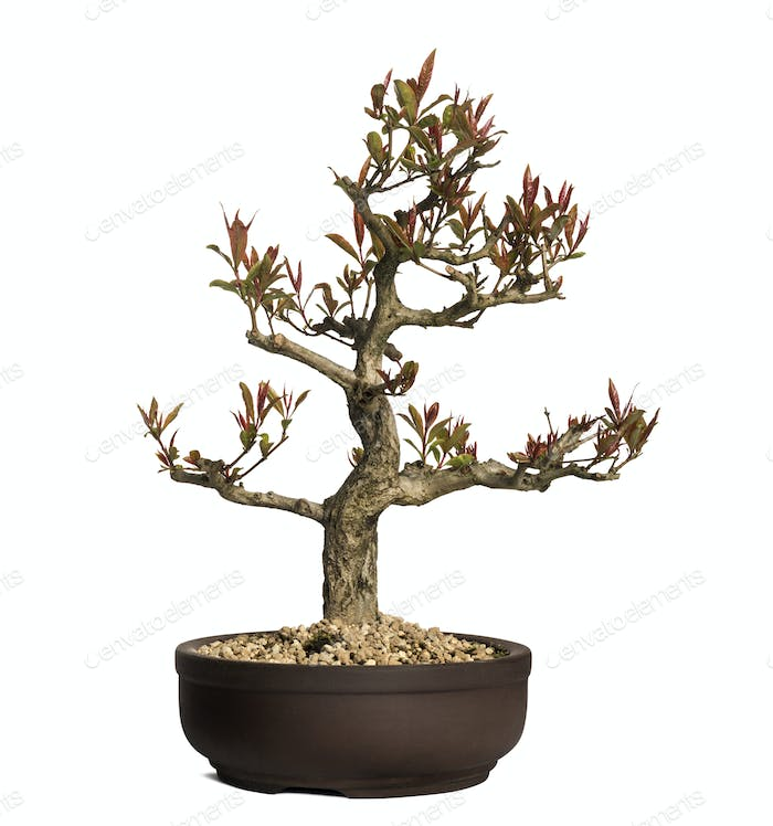 Pomegranate bonsai tree, Punica granatum, isolated on white